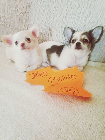 Chihuahua Birthday I Love My Dog Puppy❤ ;)