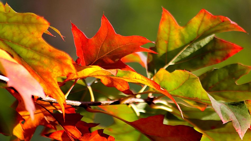 Autumn colors Autumn Leaves Plant Part Leaf Autumn Beauty In Nature Plant Change Growth Close-up Nature Red Day Leaves Outdoors No People Orange Color