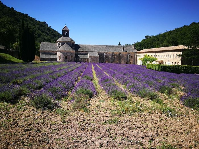 Purple flowers on field by building against sky