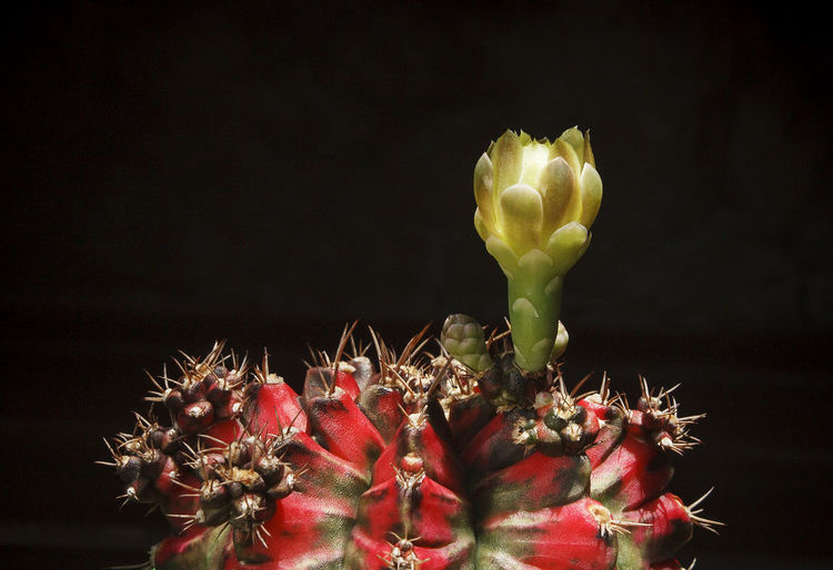 Close-up of red cactus flower against black background