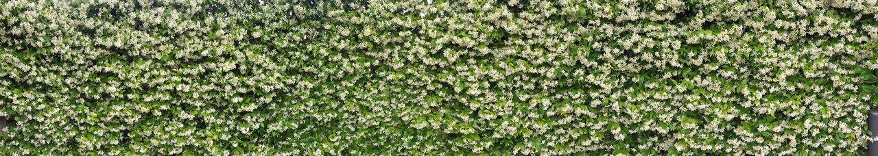 Fkowers Jasmine Jasmine Flower Panoramic Iphoneonly Iphonephotography IPhone IPhoneography