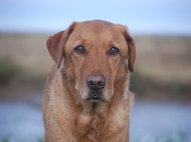 Bonzo @bonzosworld Instagram One Animal Looking At Camera Dog Animal Themes Domestic Animals Mammal Portrait Pets Close-up Focus On Foreground No People Sky Outdoors Day Labrador Retriever Red Lab Retriever