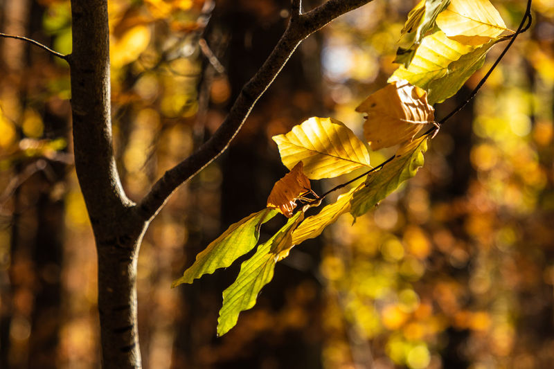 Focus On Foreground Beauty In Nature Yellow Close-up Outdoors Day Autumn Beech Beech Leaves Leaf Tree No People Branch Nature