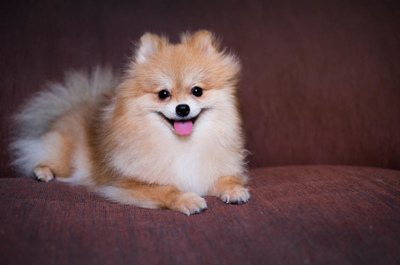 Animal Animal Mouth Animal Themes Animal Tongue Canine Cute Dog Domestic Domestic Animals Flooring Indoors  Lap Dog Looking At Camera Lying Down Mammal No People One Animal Pets Pomeranian Portrait Small Vertebrate Young Animal