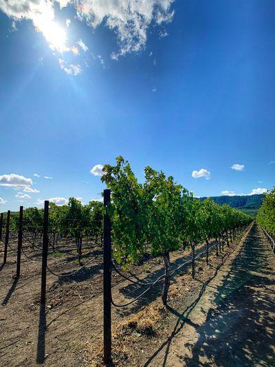 Grape Vines Sky