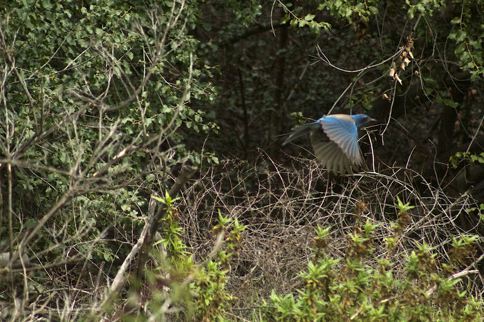 It's spring in California Animal Themes Animal Wildlife Animals In The Wild Bird Day Growth In Flight Nature No People One Animal Outdoors Tree Western Scrub Jay Wings Spread