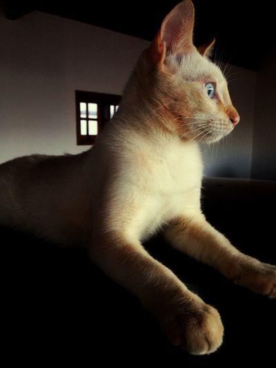 Ollie Cat Pretty Sfinge White Gold