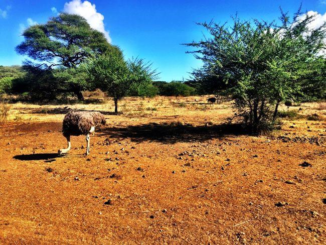 Ostrich Savannah Mauritius Freedom Animals Animal Photography Serenity Tranquility Safari Safari Animals Safari Park Safari Adventure Paradise Bigbird Angrybirds Bird Traveling