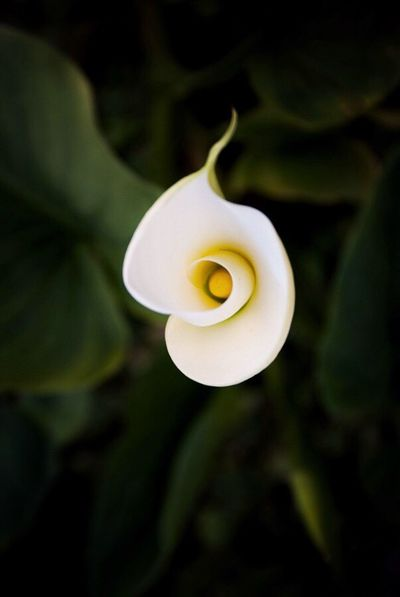 Flower Beauty In Nature Petal Fragility Nature Flower Head Freshness Close-up Growth Plant Blooming Outdoors No People Day Calla Calla Lily EyEmNature