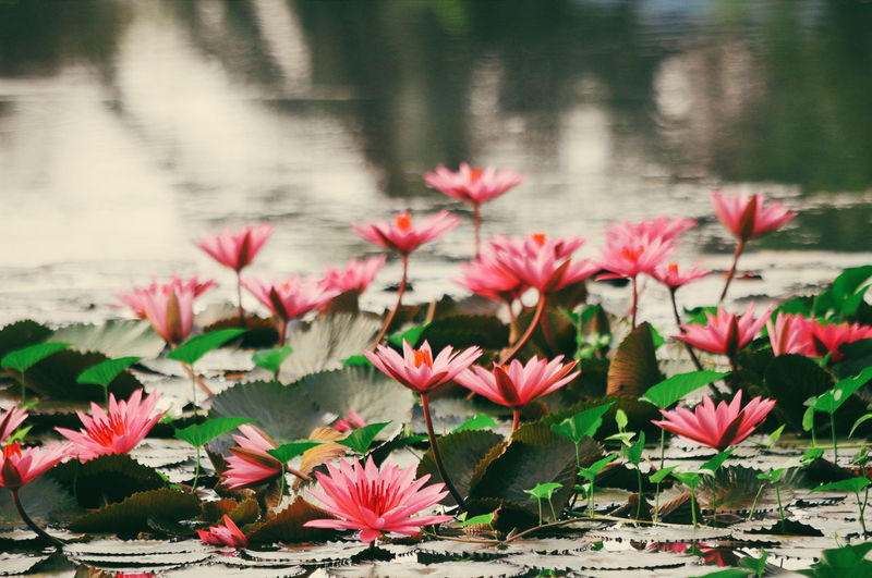 Close-Up Of Red Flowers Blooming Against Lake