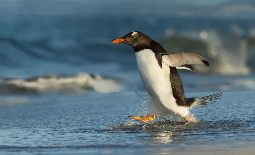 Penguin running at beach
