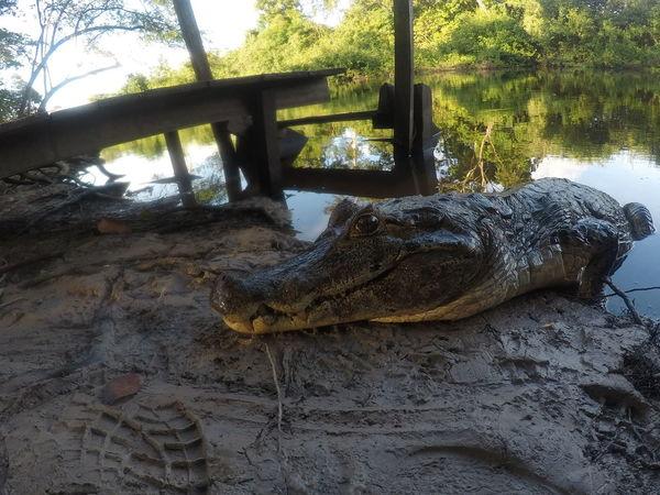 Bolivia Nature Close Up Crocodile Jungle Landscape Pampas River Rurrenabaque South America