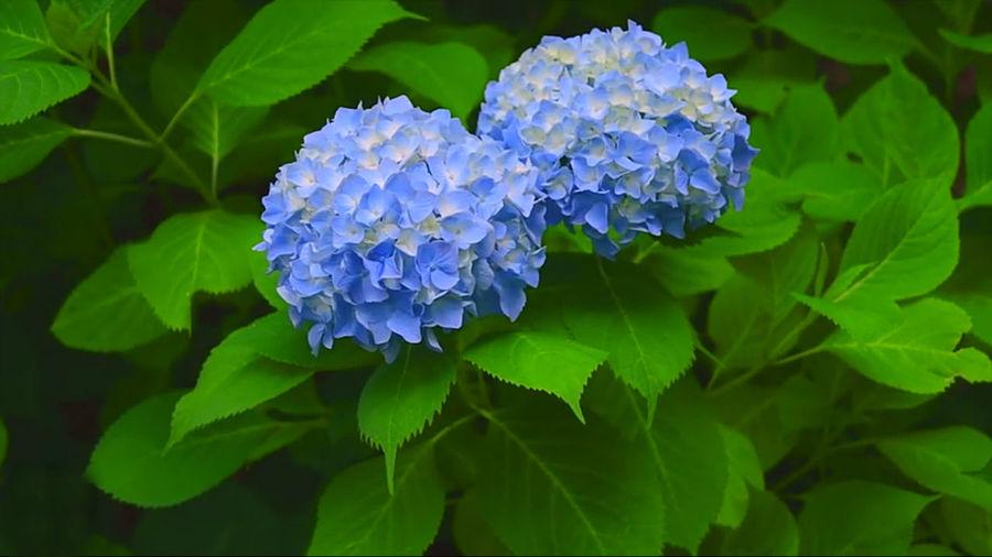 Close-up of blue hydrangea flowers