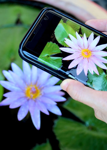 Purple lotus and yellow pollen and photography with mobile phones on holiday in Thailand. Lotus Relax Art Recreation  Autumn Springtime Spring Flower Winter Colorful Mobile Photography Technology Thai Thailand Travel Summer Holiday Health Healthcare Lifestyle Lifestyle People Human Hand Flower Head Flower Photography Themes Photo Messaging Photographing Wireless Technology Holding Close-up Pollen