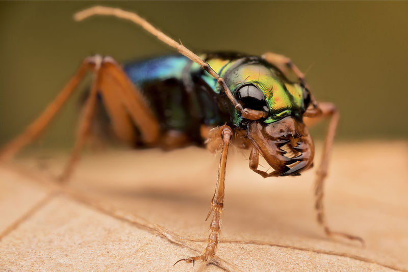Colors Insects Beautiful Nature Macro Beauty Macro Photography Market Nature Tiger Beetle Animal Themes Artrópodos Ciccindelidae Colors In Nature Colours Of Nature Detail Insect Photography Insects  Macro Nature Macro_collection Macro_perfection Macroclique Macrophotography Nature_collection Naturelovers
