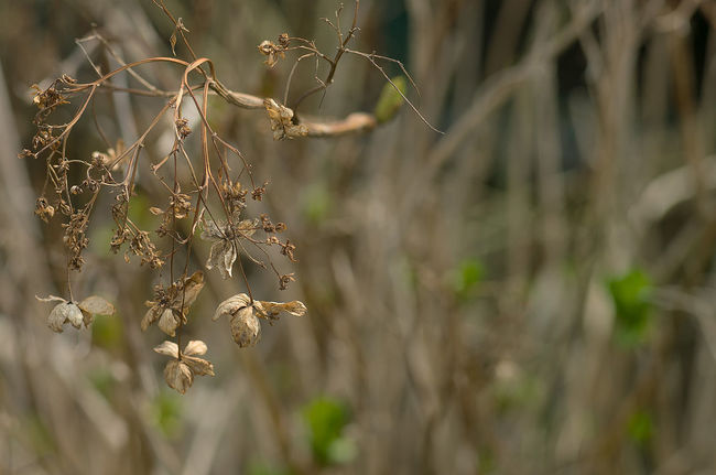 Beauty Of Decay Focus On Foreground Hydrangea Nature Selective Focus Springtime Young Leaves