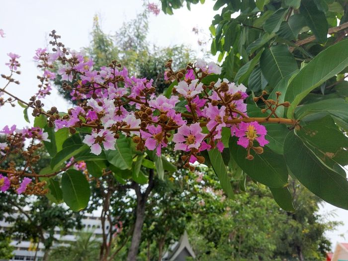 This is a flower Flower Plant Flowering Plant Growth Beauty In Nature Leaf Plant Part Tree Close-up Day Pink Color Nature Petal Low Angle View Blossom Focus On Foreground No People Flower Head Outdoors Purple