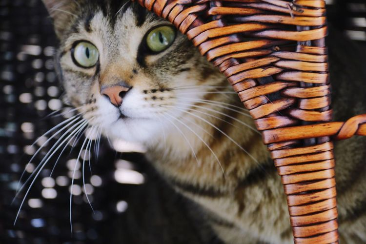 Cat in whicker basket