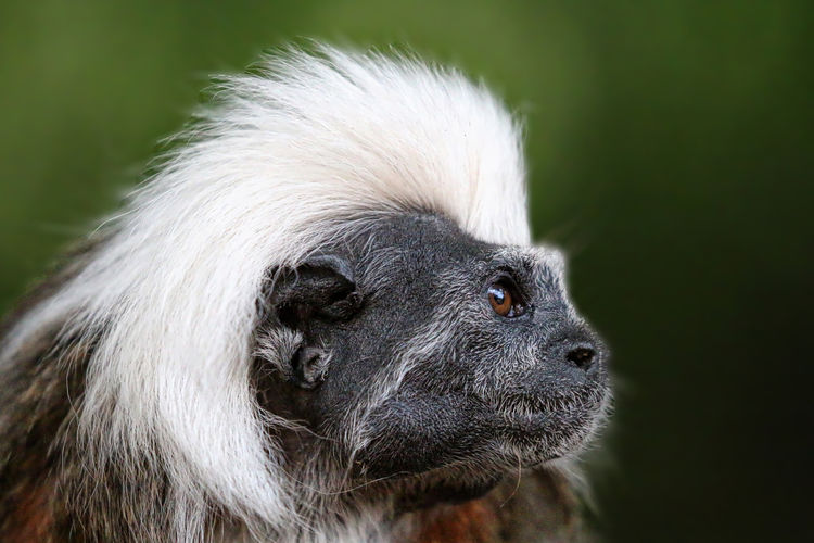 Cotton Top Tamarin Animal Animal Body Part Animal Eye Animal Hair Animal Head  Animal Themes Black Color Close-up Day Focus On Foreground Mammal Nature No People Outdoors Part Of Portrait Selective Focus Snout Whisker