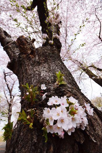 CAMERA : NIKON D5300 LENS : 10-24mm F/3.5-4.5 Di II VC HLD #tamron #tamuronlens #タムロン #タムロンレンズ #広角レンズ #tamron1024 #1024mm #nikond5300 #nikon倶楽部 #instagramers #iphoneocreation Tamron EyeEmNewHere NIKON D5300 Sakura Tamron Tamron10_24 Sapporo Plant Flowering Plant Flower Growth Fragility Vulnerability  Beauty In Nature