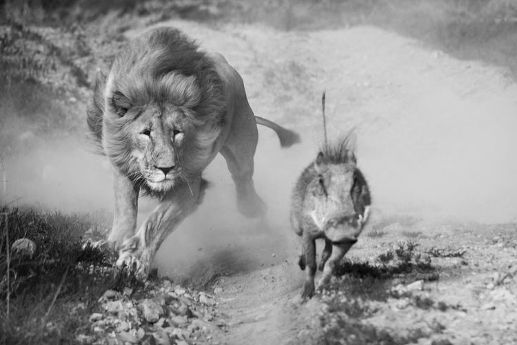 Surprised lion by a young warthog