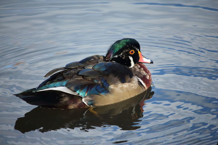 End of the autumn day Wood Duck  Colorful Nature Autumn colors Autumn Light Wildlife Natural Beauty Solitude And Silence End Of The Day Quiet Place  Quiet Moments Swimming Lake Duck Beak Close-up Feather  Male Animal Water Bird
