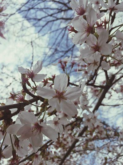 벚꽃...앤딩 철스타일 CHEOLstyle 무등산국립공원 Plant Flower Flowering Plant Growth Tree Fragility Beauty In Nature