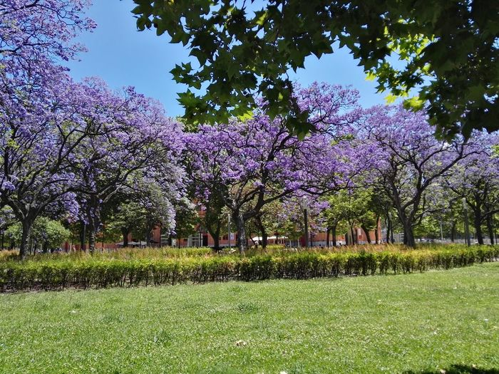Tree Green Color Growth Grass Beauty In Nature Nature Flower Outdoors Day No People Branch Freshness Sky Purple Purple Flower Jacaranda Tree Jacaranda Tree Campo Pequeno Lisboa Lisbon Spring