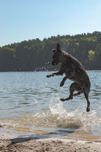 Animal Animal Themes Beach For Dogs Canine Day Dog Domestic Domestic Animals Jumping Dog Lake Mammal Motion Nature No People One Animal Outdoors Pets Running Sky Splashing Vertebrate Water Wet