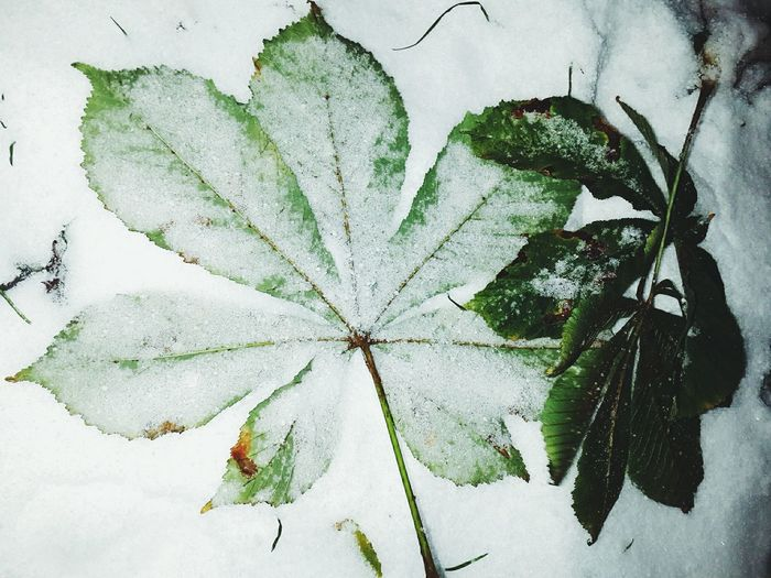 Leaf Nature Plant No People Green Color Close-up Beauty In Nature Outdoors Evening Walk Snow Storm In Moscow Snowing Park In Snow Green Leaves Winter Has Come Snow
