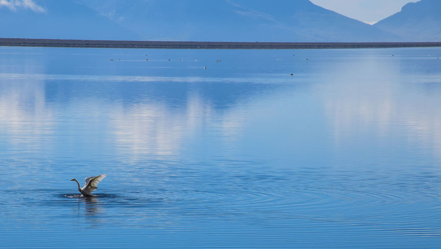 Swan, East Fjords Iceland Animal Themes Animal Wildlife Animals In The Wild Beauty In Nature Bird Day Lake Nature No People One Animal Outdoors Reflection Scenics Sky Swan Swimming Water Water Bird Waterfront