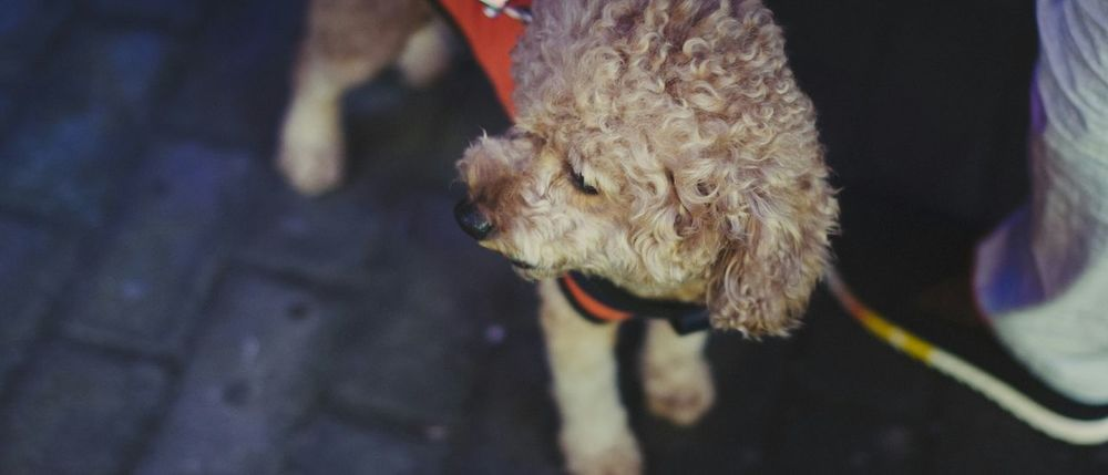 狗狗狗 Dog Lowlight Lowlightphotography Streetphotography Nikon Nikond300 Shanghai China 某年夏天的傍晚