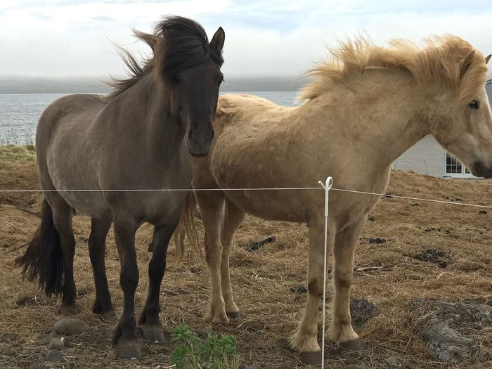 Icelandic horses Horse Domestic Animals Livestock Mane Outdoors No People