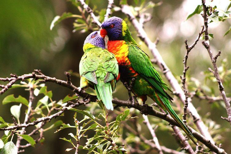 Love Bird Photography Rainbowlorikeet Australia Peck Valentine