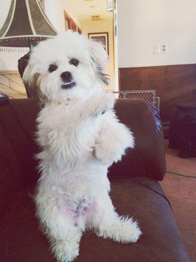 Sittin pretty 👍 I Love My Dog Puppy Love Cheese! Animals Check This Out Bichonfrise