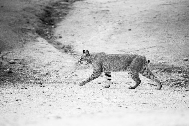 Young bobcat walks across a dirt path in the back yard of a home in Scottsdale, Arizona, USA. Mammal One Animal Animal Wildlife Vertebrate Animals In The Wild No People Side View Outdoors Bobcat Bobcats Wildlife Wild Wildlife & Nature Wildlife Photography Wildlifephotography Wildlife Photos Cat Cats Cats Of EyeEm Cats 🐱 Big Cat Big Cats Desert Desert Beauty Desert Life