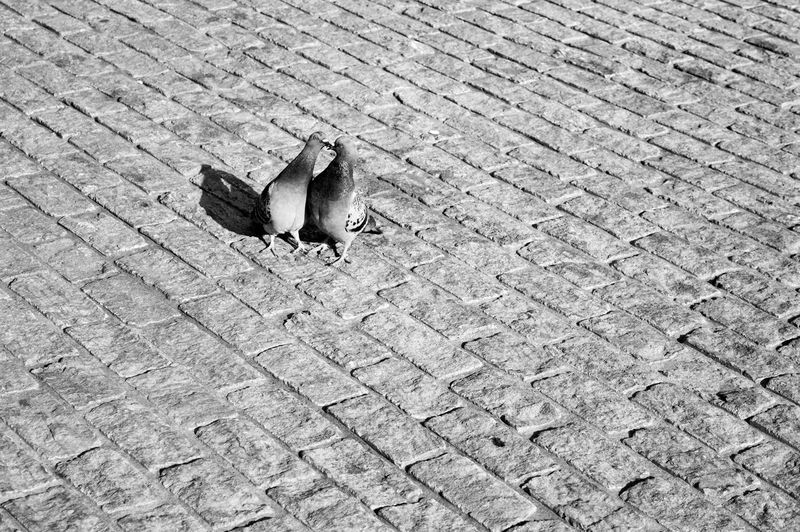 High angle view of pigeons on footpath during sunny day
