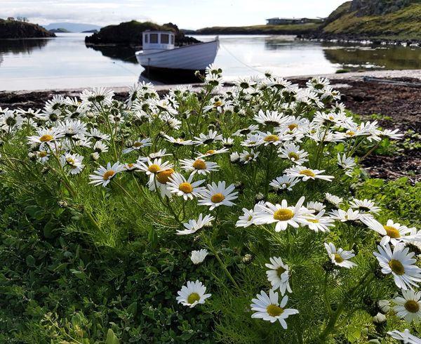 Boat At The Ocean Harbor Iceland Flower Water Nautical Vessel Lake Flower Head Grass Plant Sky In Bloom Water Vehicle Wildflower
