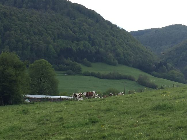 animal, cows, cow, landscape, vaufrey, france, Found On The Roll