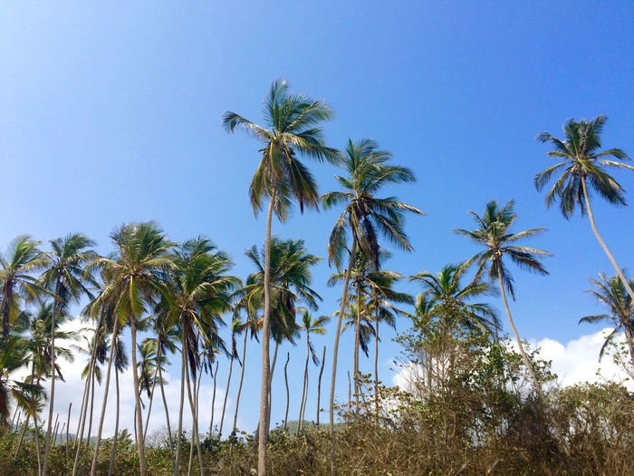 Beauty In Nature Blue Clear Sky Coconut Palm Tree Green Color Nature Outdoors Palm Tree Sky Tranquil Scene Tranquility Tree Tropical Climate