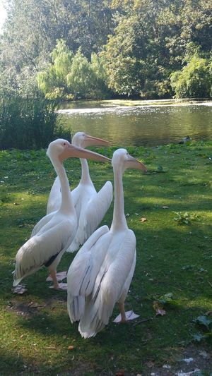 Pe!ican Family Pelicans Three Of A Kind St James Park London  Summer2016 Birdwatching Bird Photography