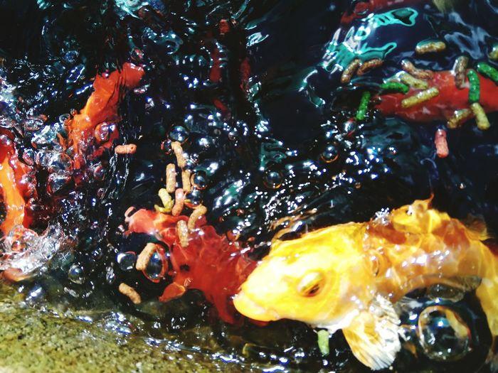 EyeEmNewHere EyeEm Best Shots EyeEm Selects Eye4photography  EyeEm Gallery Eyemphotos Koi Koi Carp Koi Fish Koifish Koishikawa Korakuen Koi. Koishikawa Botanical Gardens Koi Carps Koi Fishes Kois Fish Japonen Kois Fish  Kois Fish Japonen Kois Grande Kois De Color Dorado Y Plateadoç Koi Dorado Koi Rojo Koi Plateado Golden Koi Golden Koi Swimming Into Golden Reflection Kois En Estanque Water Egg Yolk Motion Close-up
