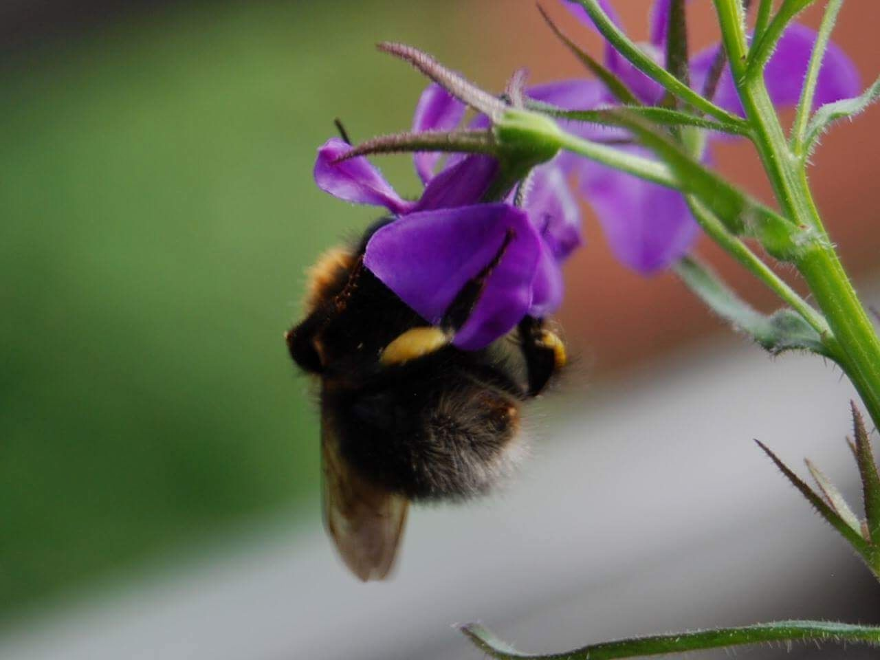 one animal, flower, animal themes, insect, bee, animals in the wild, nature, purple, fragility, petal, beauty in nature, plant, bumblebee, freshness, growth, wildlife, animal wildlife, no people, honey bee, pollination, day, close-up, buzzing, flower head, outdoors