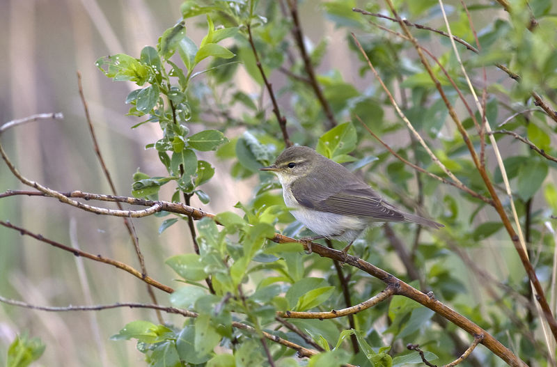 Phylloscopus Trochilus Songbird  Animal Themes Animal Wildlife Animals In The Wild Bird Branch One Animal Willow Warbler