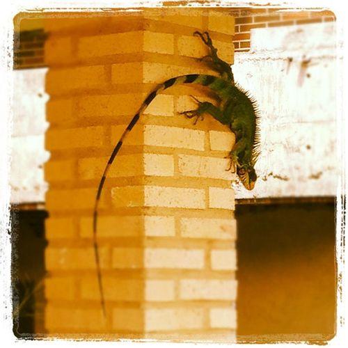 La Nueva Mascota Hatillo Iguana