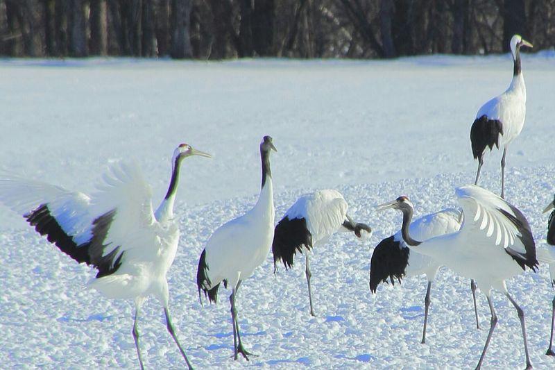 2015.1.4 先日行った鶴居村の伊藤サンクチュアリからの丹頂鶴。 Hokkaido Landscape_Collection Nature_collection EyeEm Nature Lover
