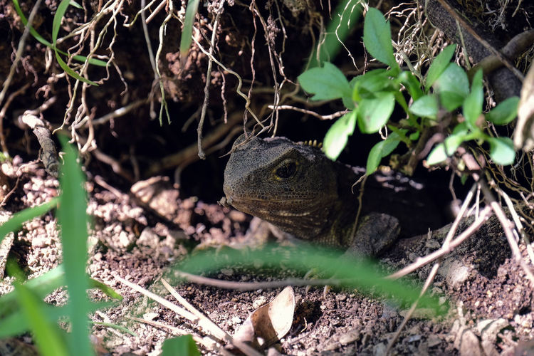 Tuatara reptile at Zealandia, Wellington, New Zealand. Dinosaur Lizard Reptile Tuatara Tuatara Reptile Animal Animal Themes Animal Wildlife Animals In The Wild Close-up Day Land Living Fossil Nature No People One Animal Outdoors Plant Selective Focus Vertebrate