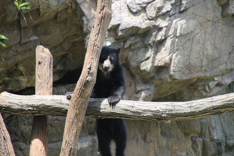 One Animal Black Color Bear Cub looking at camera Wood - Material Outdoors Daytime No People