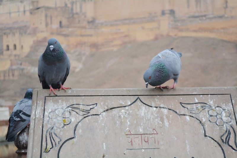 PiegonShots Piegon Piegons Bird Photography Bird Watching Perfect Timing Perfect Moment Check This Out 😊 Warning Sign Sign Board Rajasthan Rajasthandiaries Rajasthan Jaipur Rajasthan India Rajasthan Beauty Amer Fort Amer