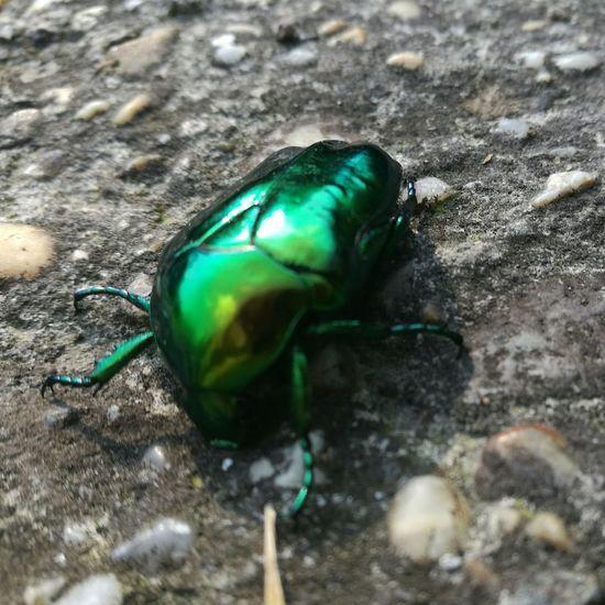 Bug Rosebug Green Rock Nature Animals Shine Bright